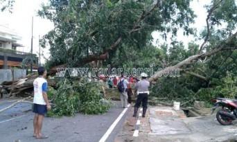 Inilah pohon Angsana ysng tumbang di Jl.Wiratno.
